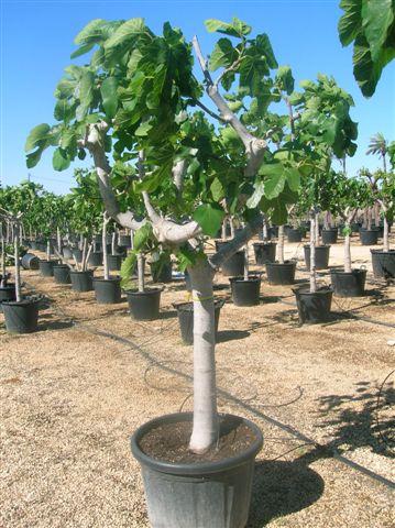 winterharde olijfbomen, palmbomen en vijgenbomen voor de beste prijs